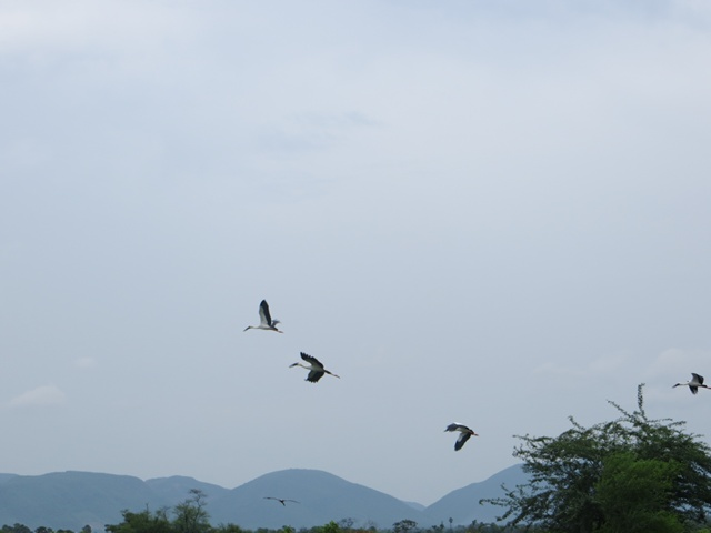 Open billed storks, flying away